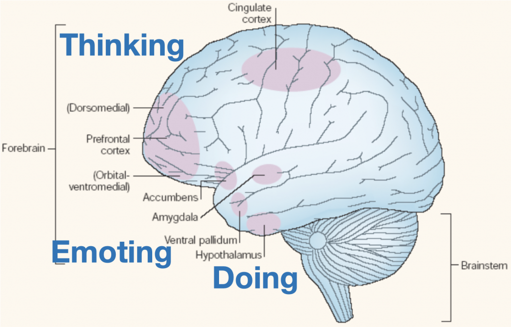 Brain anatomy diagram showing areas involved in emotion regulation